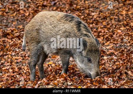 Wildschwein (Sus scrofa) Ferkel Futter im Herbst Wald durch das Graben mit der Schnauze in Blattsänfte auf der Suche nach Buche Muttern in den Ardennen - Stockfoto