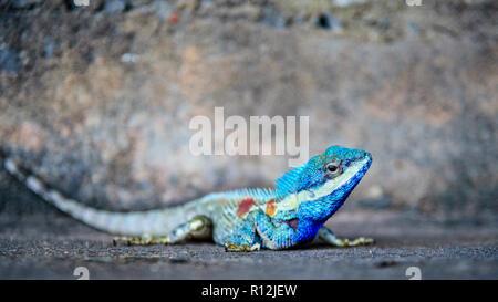Close-up Kopf Indochinesischen Wald Lizard oder calotes Mystaceus auf dem alten grunge Zement Wand Hintergrund, 16:9 Breitbild - Stockfoto
