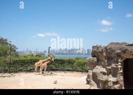 Sydney, New South Wales,  Australia-December 21,2016: Giraffen füttern auf hängende Pflanzmaschine am Taronga Zoo mit Blick auf die Skyline von Sydney, Australien - Stockfoto