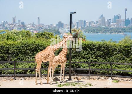 Sydney, New South Wales,  Australia-December 21,2016: Zwei Giraffen füttern auf hängende Pflanzmaschine am Taronga Zoo mit Stadtbild in Sydney, Australien - Stockfoto