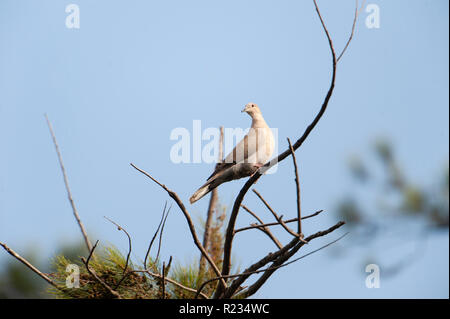 Eurasian Collared Dove (Streptopelia decaocto) in einem Baum gehockt, Jocotopec, Jalisco, Mexiko - Stockfoto