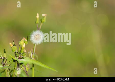 Löwenzahn Samen gegen einen schönen grünen Hintergrund im Herbst in den Tag - Stockfoto