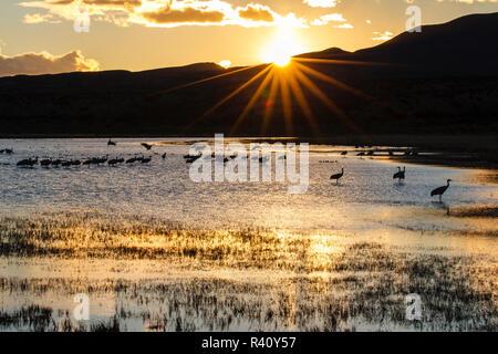 Kanadakraniche auf bei Sonnenuntergang Roost. - Stockfoto