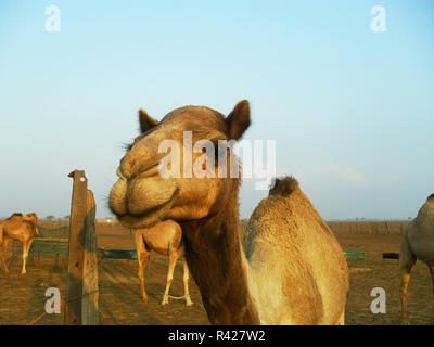 Kamele in der Wüste - Stockfoto