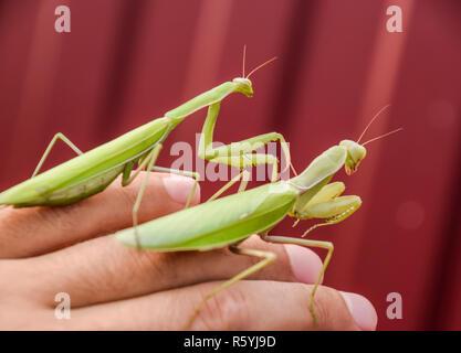 Weibchen und den Mantis sitzen auf dem Palm ein Mann. Insekt predator Mantis. - Stockfoto