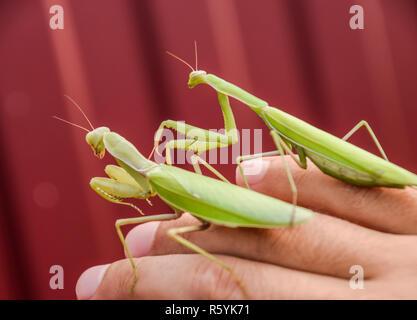 Weibchen und den Mantis sitzen auf dem Palm ein Mann. Insekt p - Stockfoto