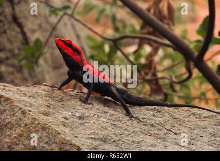 Augenhöhe Ansicht einer rot orange schwarz Chameleon thront auf einem Granitfelsen. - Stockfoto