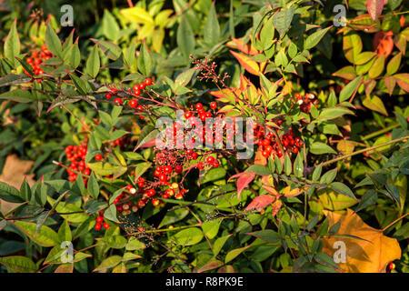 Rote Früchte auf grünen Strauch Aucuba japonica in der Wintersaison - Stockfoto