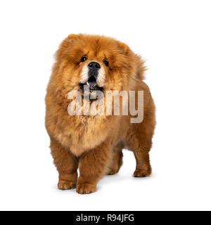 Süße flauschige Chow Chow Welpen Hund, halb seitlich, oben zu schauen. Auf einem weißen Hintergrund. Mund öffnen, mit blauer Zunge. - Stockfoto