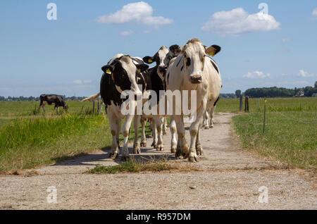 Herde der schwarze und weiße Kühe in einem Pfad gehen in einer Weide und einige Zaunpfosten. - Stockfoto