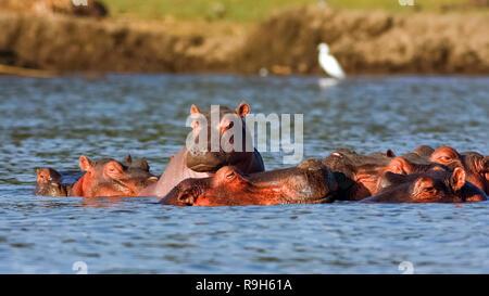 Naivasha Flusspferde und Reiher. Alpha Male. Kenia, Afrika - Stockfoto