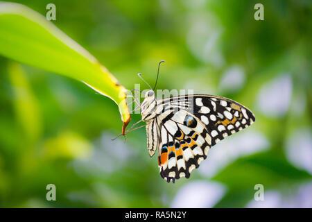 Nahaufnahme Makro einer Gemeinsamen Kalk Schwalbenschwanz Schmetterling liegt auf der Spitze eines grünen Blatt mit grünem Laub im Hintergrund - Stockfoto