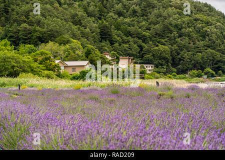 Lavendelfeld in der Landschaft - Stockfoto