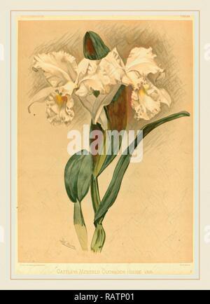 Gustav Leutzsch nach Henry George Mond (Deutsch (?), Aktiv 19. Jahrhundert), Cattleya Mendelii Quorndon Haus Var neuerfundene - Stockfoto