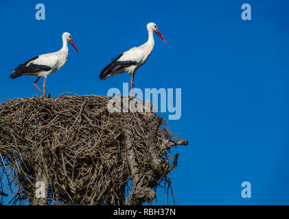 Störche auf dem Nest gegen den blauen Himmel - Stockfoto