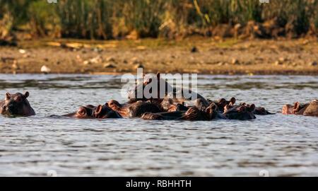 Naivasha Flusspferde und Familie. Kenia, Afrika - Stockfoto