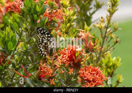 Ein Kalk/Zitrone Schmetterling oder Kalk/kariert Schwalbenschwanz auf einer roten Blume (Papilio demoleus) in Maskat, Oman, mit einem blauen Himmel im Hintergrund. - Stockfoto