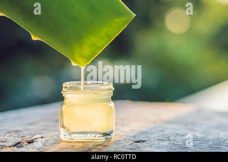 Transparente Wesen aus der Aloe Vera Pflanze tropft aus den Blättern. - Stockfoto