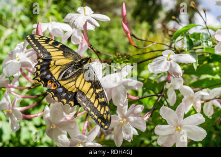 Anis Schwalbenschwanz Schmetterling ruht auf Jasmin, Kalifornien - Stockfoto