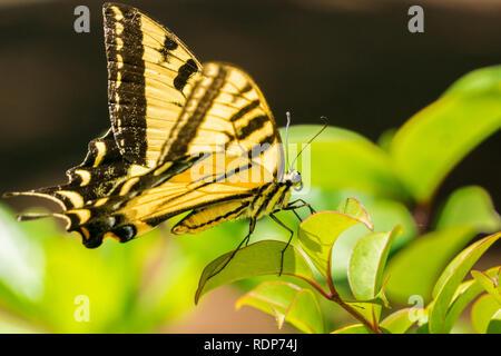 Profil eines Anis Schwalbenschwanz Schmetterling ruht auf grüne Blätter, Kalifornien - Stockfoto