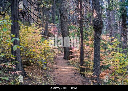 Schattige tTrail aufgereiht mit bunten Hartriegel, Calaveras große Bäume State Park, Kalifornien - Stockfoto