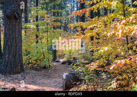Trail aufgereiht mit bunten Hartriegel, Calaveras große Bäume State Park, Kalifornien - Stockfoto