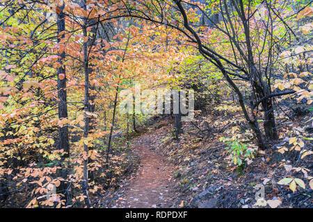 Schattige trail aufgereiht mit bunten Hartriegel, Calaveras große Bäume State Park, Kalifornien - Stockfoto