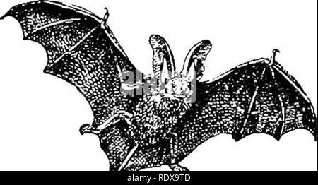 """. Natural History. Zoologie. Die BA Rs. 37. Für eine kurze Strecke über der Stirn, und die Präsenz der Nuten, erneut eine beginnende Nase-Blatt auf die Schnauze direkt hinter der Nase. Im Ruhezustand ist das lange Ohren sind nach hinten geklappt, das tragus allein stehend zu verlassen. In den Alliierten Gattung (Synotus), von denen die barbastelle ist der britische Vertreter, gibt es auch nur zwei Arten, die die europäischen und die anderen Asiatischen. Sie können leicht von der langohrige Fledermäuse zeichnet sich durch die Kürze der Ohren, die für einige Entfernung^ United"""" sind^ basally, und ebenso durch sein - Stockfoto"""