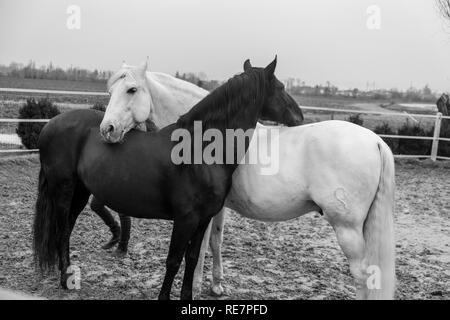 Zwei Pferde, eine weiße und eine schwarze, Spielen, Essen und Spaß zusammen haben. Pferde in verschiedenen Farben in der Natur. - Stockfoto