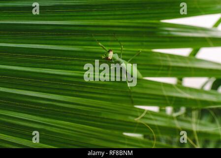 Mantodea Gottesanbeterinnen Wandern auf dem Blatt einer Palme. - Stockfoto