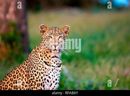Ein leopard Panthera Pardus, sitzt im grünen Gras, Alert, die Ohren nach vorne, gelbe Augen, weiße Schnurrhaare, dunklen Rosetten auf Pelz - Stockfoto