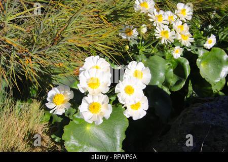 Ranunculus lyallii, eine Pflanzenart aus der Gattung Ranunculus (hahnenfuß), endemisch in Neuseeland. Hooker Valley Track, Südinsel, Neuseeland - Stockfoto