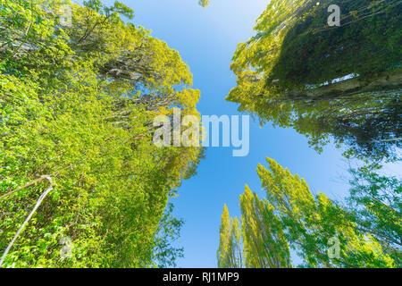Pappeln erreichen nach oben zu schönen blauen Himmel - Stockfoto