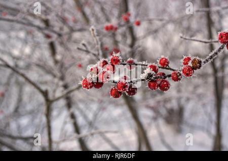 Ilex verticillata oder winterberry mit Raureif im Winter abgedeckt. Es ist eine Art von Holly native zu östlichen Nordamerika. - Stockfoto