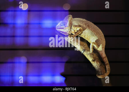 Chameleon isoliert auf schwarzen großen Hintergrund. Lizard am Baum-Lkw im Terrarium. Die Haut hat eine helle Farbe - Stockfoto