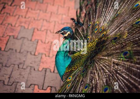 Porträt eines schönen und bunten Blue Ribbon Pfau in Full feather, während er versuchte, die Aufmerksamkeit einer nahe gelegenen weibliche Anzuziehen - Stockfoto