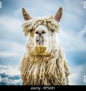 Alpaka (Vicugna pacos) - eine südamerikanische Arten von Camelid. - Stockfoto