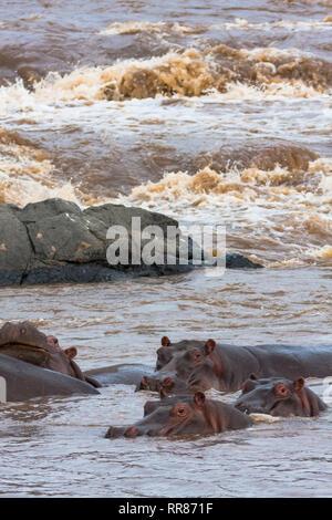 Eine kleine Herde Flusspferde im Mara River. Die Masai Mara, Kenia (Rev. 2) - Stockfoto