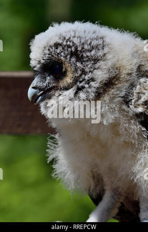 Nahaufnahme, Porträt eines Babys, braunes Holz Eule (Strix leptogrammica) - Stockfoto
