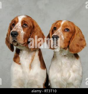 Welsh Springer Spaniel - Stockfoto