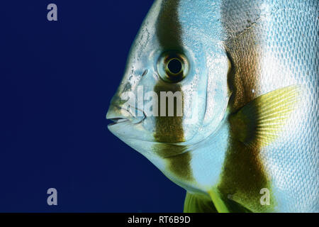 (Platax teira Longfin spadefish), Rotes Meer, Ägypten. - Stockfoto