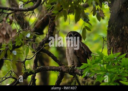 Braunes Holz Eule, Strix leptogrammica, Sattal, Nainital, Uttarakhand, Indien. - Stockfoto