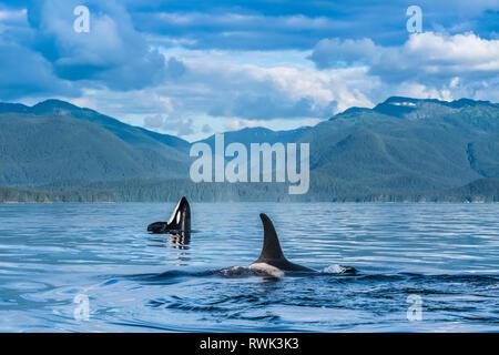 Schwertwal (Orcinus orca), auch als Killer Wale, Oberfläche in Chatham Strait, Spy hop im Hintergrund, Inside Passage bekannt - Stockfoto