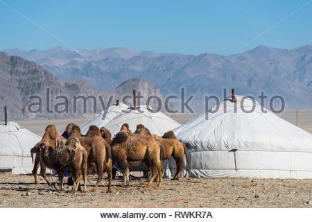 Kamele im Mongolischen Ger (Jurte) Camp, Ölgiy, Bayan-Olgiy, Mongolei - Stockfoto