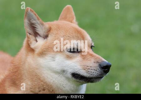 Cute rot shiba inu. Japanische klein Hund oder japanischen Rasen Hund. Close Up. Heimtiere. Reinrassigen Hund. - Stockfoto