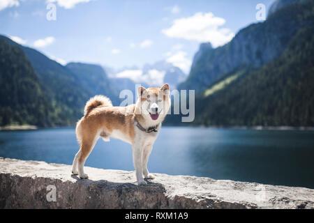 Roter Shiba Inu an einem See in den Bergen der österreichischen Alpen. Kleiner Hund vor einem See stehen und Lächeln. - Stockfoto