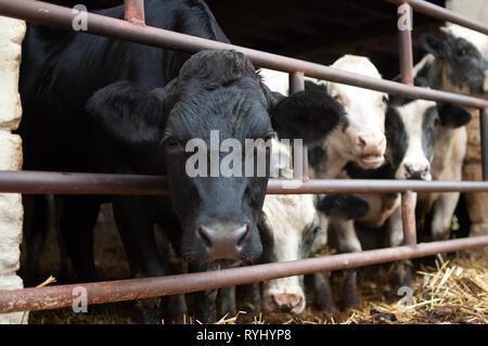 Schwarze und weiße Kuh mit nassen Nase schauen in die Kamera mit Interesse, ökologische Landwirtschaft Konzept - Stockfoto