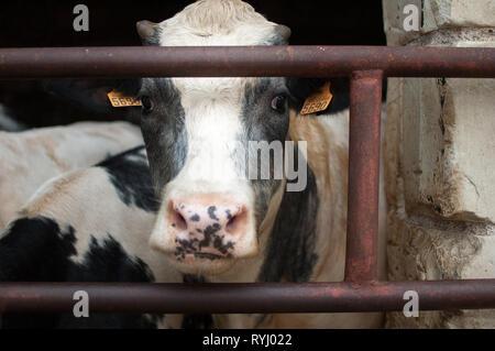 Schwarze und weiße junge Kuh mit nassen Nase schauen in die Kamera mit Interesse, ökologische Landwirtschaft Konzept - Stockfoto