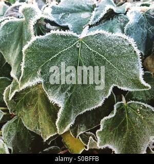 Frost auf Ivy - Stockfoto