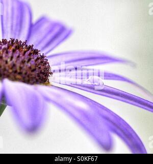Ein Tröpfchen des Wassers beruht auf dem Blütenblatt eine lila Blume. Weißem Hintergrund - Stockfoto